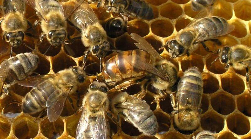 Пчела Карпатка
