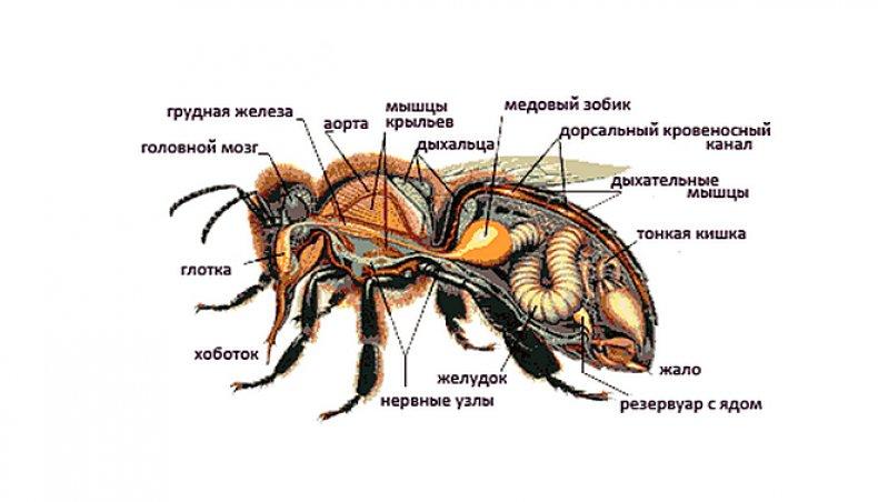 Строение медоносной пчелы