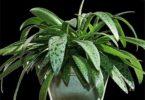 дримиопсис красиво цветет