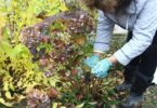 Уход за гортензией осенью