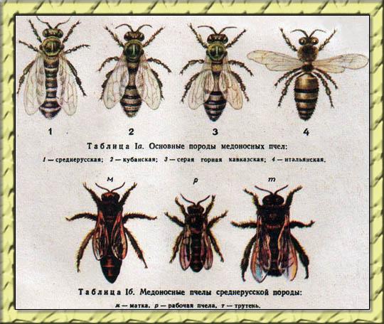 Разновидности пчелы