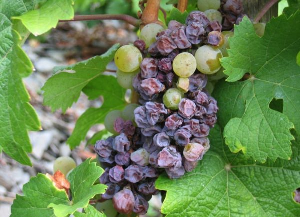 альтернариоз винограда