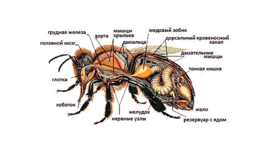 Внутренние органы пчелы