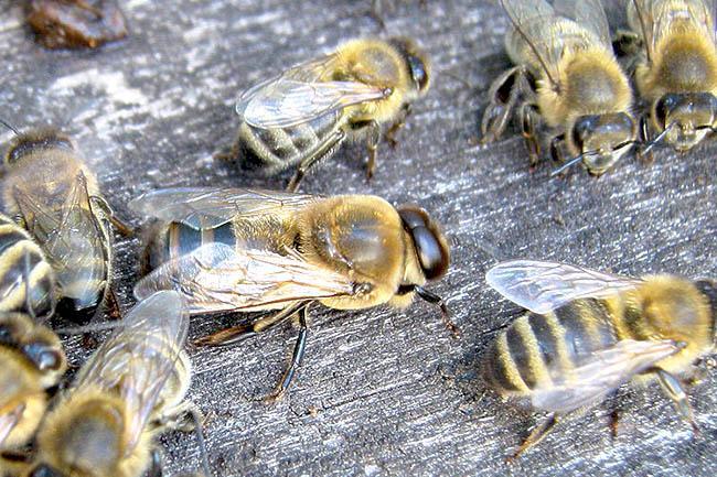 Трутень и пчелы