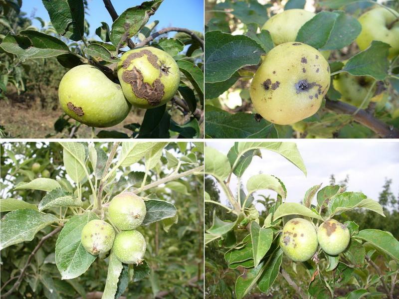 Пораженные яблоки