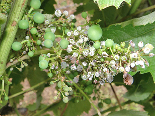 милдью на винограде