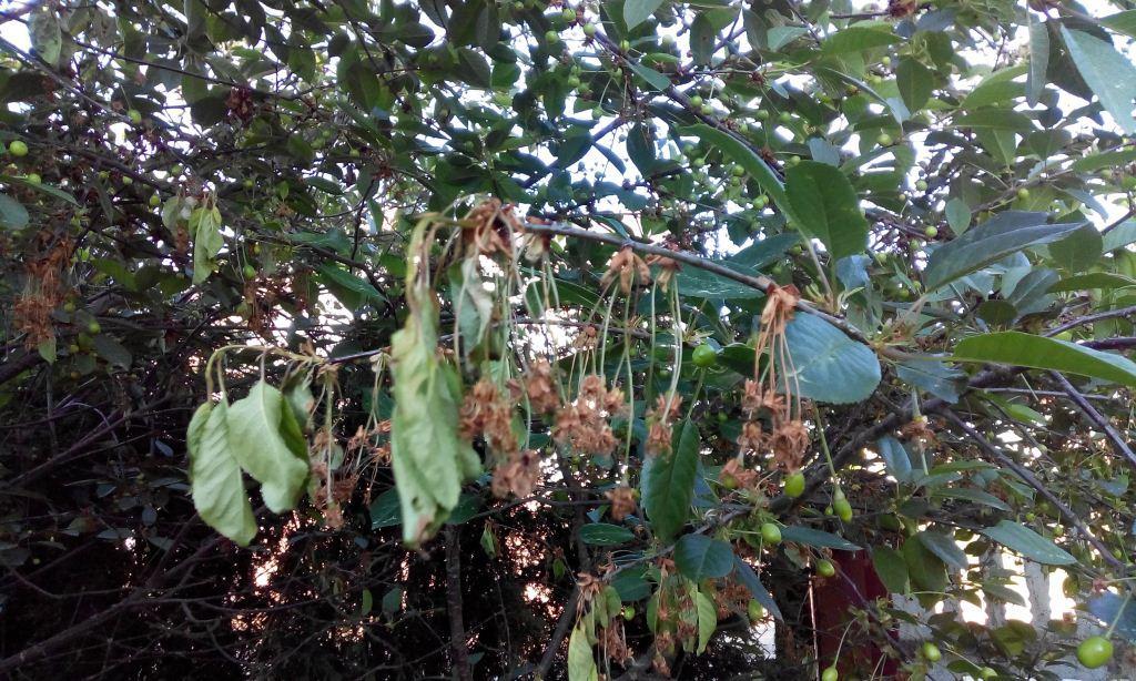 монилиоз вишни фото