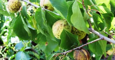 клястероспориоза косточковых плодовых деревьев
