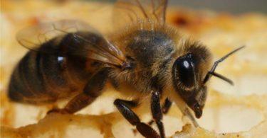Cреднерусская порода пчел