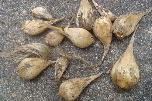 Луковицы ириса