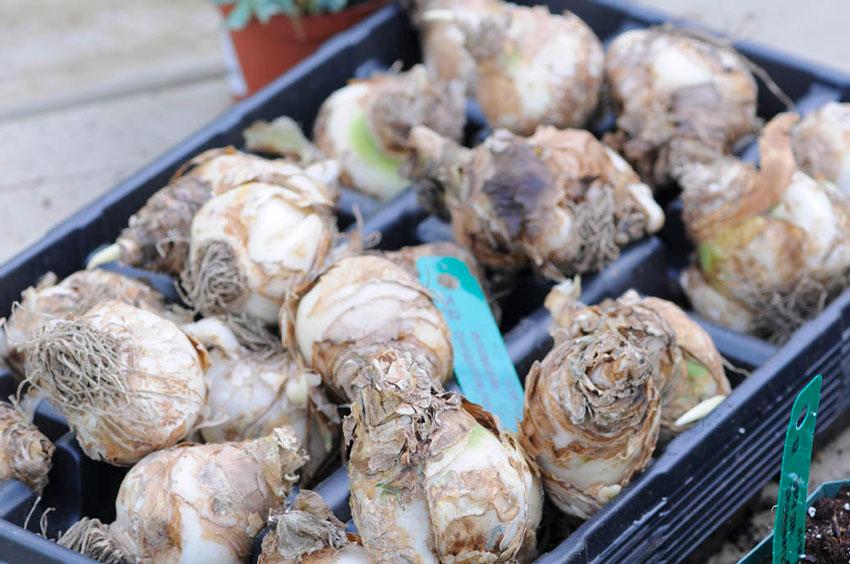 Качественные луковицы
