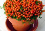 Нертера цветок