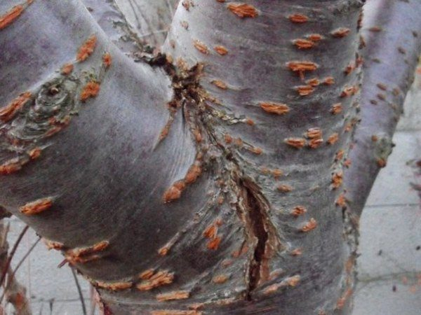 Раны на коре