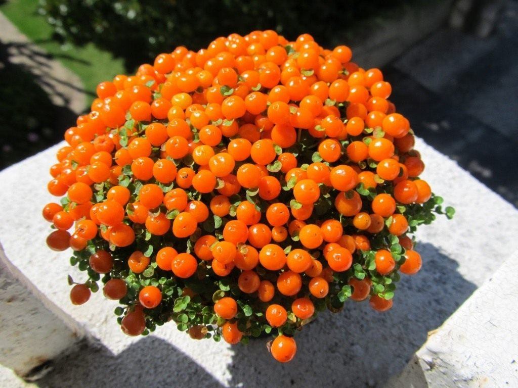 Коралловый мох