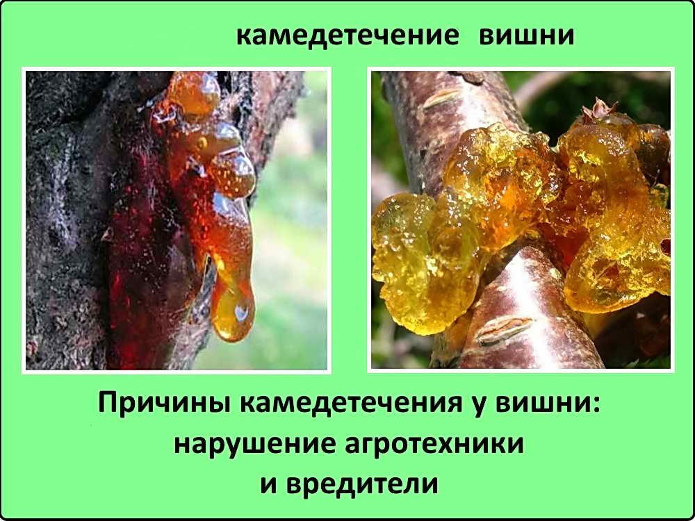 Гоммоз вишни